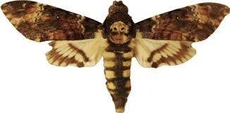 Free Adult Death`s-head Hawkmoth Acherontia Atropos Isolated On White Royalty Free Stock Photo - 177137115