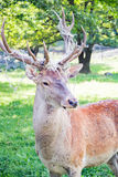 Adult deer with large antlers closeup Royalty Free Stock Photo