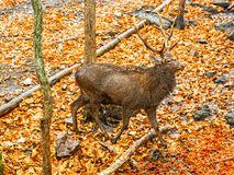 Adult deer with large antlers in the Woods. proudly lifted his head. Stock Photography