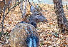 Adult deer with large antlers in the Woods. proudly lifted his head. Royalty Free Stock Photo