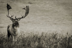 Adult Deer. An old buck deer photographed at Petworth Park during a cold October morning Stock Image