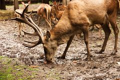 Adult deer Royalty Free Stock Photo