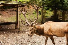 Adult deer Royalty Free Stock Images