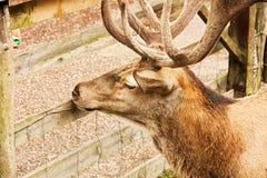 Adult deer Royalty Free Stock Image