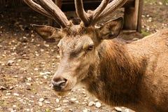 Adult deer Royalty Free Stock Photos
