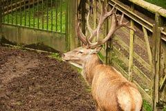 Adult deer Stock Photo