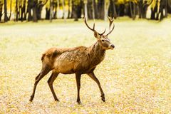 Adult deer walking in golden autumn field. Birch forest on background royalty free stock image