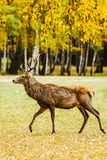 Adult deer walking in golden autumn forest. Full length profile shot royalty free stock photography