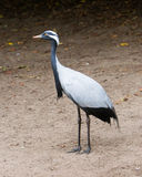 Adult demoiselle Crane Royalty Free Stock Images