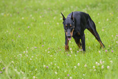 Adult doberman in the field.  stock photography