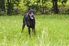 Adult doberman in the field.  stock image