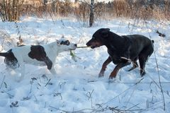 Adult doberman pinscher is playing with the american staffordshire terrier puppy. Pet animals. Winter day stock images