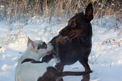 Adult doberman pinscher is playing with the american staffordshire terrier puppy. Pet animals. Stock Photography