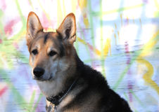 Adult dog. Against colorful graffiti background Royalty Free Stock Photos