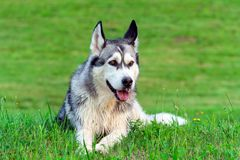 Adult dog breed alaskan malamute is on the field. With green cut grass in summer, muddy after walking, funny face hooligan Stock Photo
