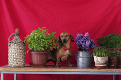 Adult dog breed dachshund sitting on a wooden table next to a va Stock Photography
