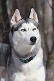 Adult dog breed Siberian Husky Stock Images