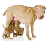 The adult dog feeds the puppies Stock Images