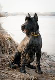Giant schnauzer on the river bank. German breed of dogs. Adult dog of a giant schnauzer for a walk in a spring park Stock Photos
