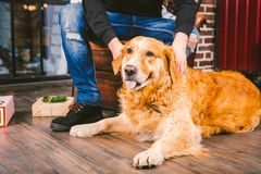 Adult dog a golden retriever,abrador lies next to the owner`s legs of a male breeder.In the interior of house on a stock image