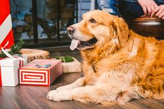 Adult dog a golden retriever,abrador lies next to the owner`s legs of a male breeder.In the interior of house on a wooden floor n royalty free stock photo