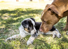Adult Dog Greets Puppy Stock Photos