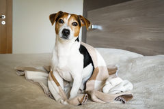 Adult dog Jack Russell sitting in the bedroom wrapped in a blanket Royalty Free Stock Image