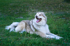 Adult dog lying on the grass Royalty Free Stock Photos