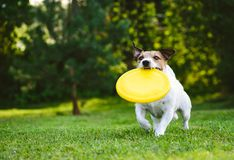 Adult dog playing catch and fetch with plastic disk outdoor. Jack Russell Terrier carrying yellow disk in mouth stock image
