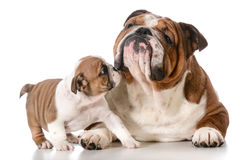 Adult dog and puppy Stock Photos