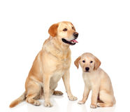 Adult dog with puppy sitting. Isolated on white background Royalty Free Stock Images