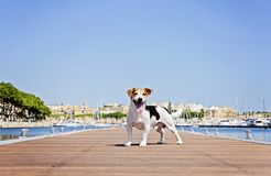 Adult Dog Stands on the wooden pontoon Royalty Free Stock Photography