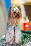 Adult dog yorkshire terrie Stock Photos