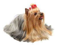 Adult dog yorkshire terrier. The winner at an exhibition of dogs Stock Photos
