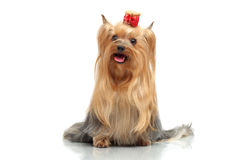 Adult dog yorkshire terrier. The winner at an exhibition of dogs royalty free stock photos