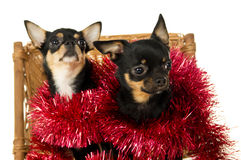 Adult dogs chihuahua Royalty Free Stock Photos