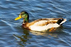 Adult domestic breeding male mallard duck swimming in the ocean. By the Pacific Coast Highway, Southern California. Anas platyrhynchos Stock Photos