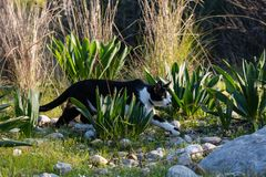 Adult domestic cat hunting in grass and daisies stock photography