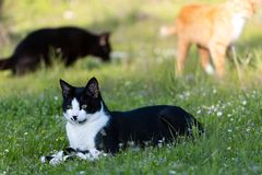 Adult domestic cat lying in grass and daisies royalty free stock images