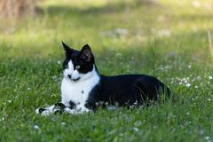 Adult domestic cat lying in grass and daisies royalty free stock photo