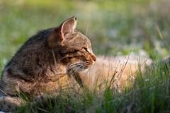 Adult domestic cat lying in grass and daisies stock photo