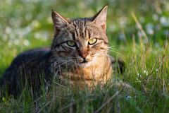 Adult domestic cat lying in grass and daisies stock image