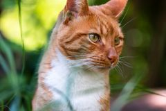 Adult domestic cat sitting in grass and daisies stock photos