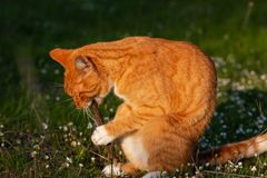 Adult domestic cat sitting in grass and gnawing a stick stock images