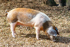 Adult domestic pig is looking for something to eat on the ground Stock Photography
