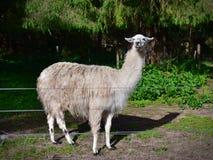 Adult domesticated llama in a farm Stock Image