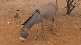Donkey Close Up Of Eating Dry Grass On The Red Sandy Land In The Desert. Adult donkey in the desert with red orange sand. Mouth gathers dry grass and leaves stock video