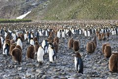 Colony of king penguins - adults and downies. Adult and downies king penguins on the beach and on the mountain in the background, South Georgia Stock Photos