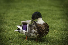 Adult duck on grass in park Stock Photos