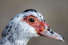 Adult duck portrait, real duck face red nose duck. Duck portrait, real duck face red nose duck royalty free stock images
